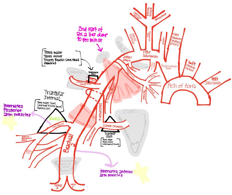 Rascunhos de Aprendizagem de Anatomia da Kim